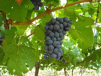 Grapes in Petrolina, only made possible in this semi arid area by drip irrigation Vale do Sao Francisco Pernanbuco.jpg