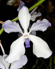 b19baf2041 Vanda - Wikipedia