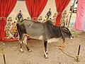 Vechur cattle-5-praba pet-salem-India.jpg