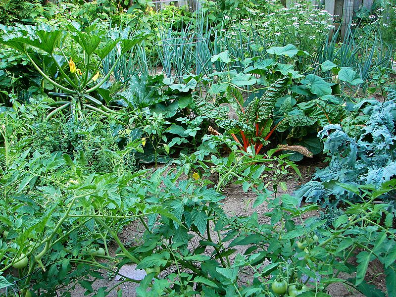 File:Vegetable garden 1.JPG Description English: Detail of vegetable garden. Tomato in foreground; kale, peppers, and zucchini in the middle; onions in the back. DateJuly 2015 SourceOwn work AuthorP199