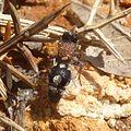 Velvet Ant. Mutillidae. Ronisia brutia or barbarula - Flickr - gailhampshire.jpg