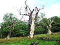 Veteran Trees - geograph.org.uk - 251038.jpg