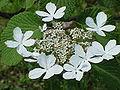 Viburnum furcatum0.jpg