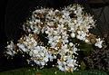 Viburnum rhytidophyllum 2016-05-17 0593.jpg