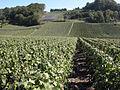 Vigne Pinot Noir (Festigny) Cl.J.Weber13 (23049567694).jpg