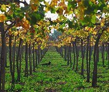 Hautain wikimonde - Quand tailler la vigne en treille ...