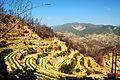 Vignoble de Palendria suivant les courbes de niveau.jpg