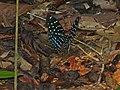 Village Archduke (Lexias pardalis) female (8112505469).jpg