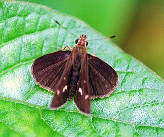 <i>Arnetta vindhiana</i> species of insect