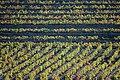 Vineyard patterns (59303984).jpg