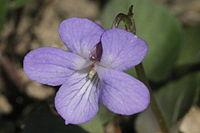 Viola rupestris (Sand-Veilchen) IMG 36929.JPG