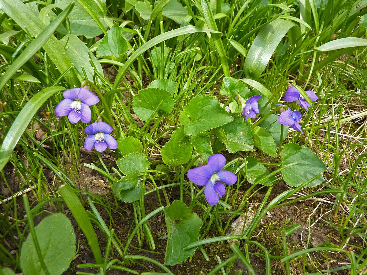 Viola sororia wikipedia for Grass like flowering plants