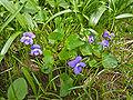 Viola sororia in Wisconsin.jpg