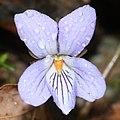 Viola vaginata (flower s9).jpg