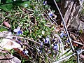 Violets on the edge of Frid Wood - geograph.org.uk - 364952.jpg