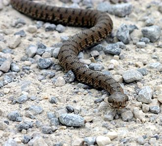 Asp (reptile) - European asp, Vipera aspis