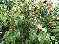 Vista de floracion de Onoto (Bixa orellana).JPG