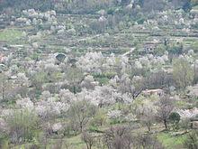 Ciliegi in fiore all'inizio di primavera nella vallata sianese