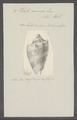 Voluta nivosa - - Print - Iconographia Zoologica - Special Collections University of Amsterdam - UBAINV0274 087 04 0012.tif