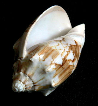 Volutidae - A shell of Cymbiola vespertilio, a large volute species