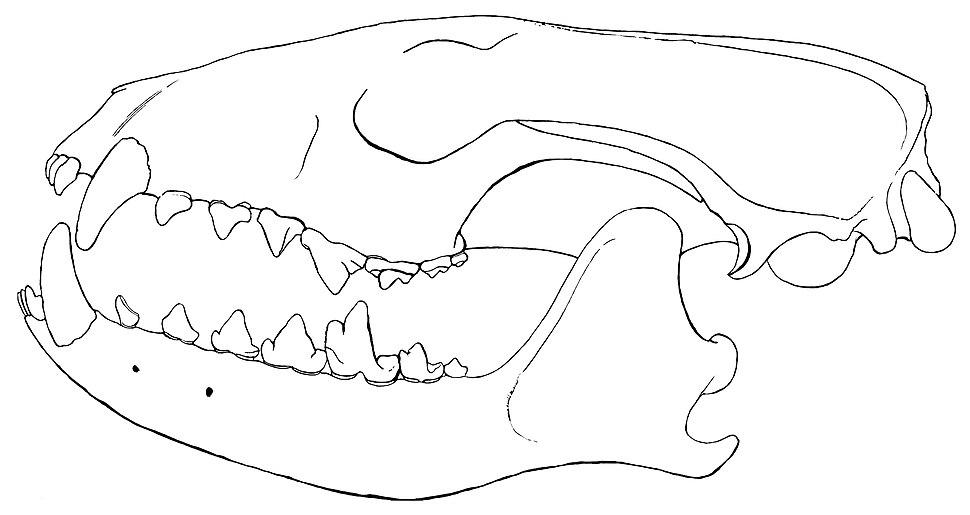 Vulpavus skull