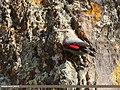 Wallcreeper (Tichodroma muraria) (38157049106).jpg