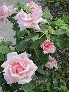 Olive Fitzhardinge Australian rose breeder