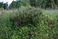 Wartenberg Angersbach Trockenrasen Birkich FFH Calluna vulgaris Vaccinium myrtillus.png