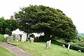 Washfield, churchyard yew - geograph.org.uk - 186882.jpg