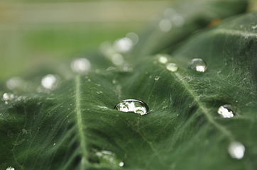 Water droplet on a leaf.JPG