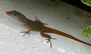 Description de l'image Watts anole on St.Lucia.jpg.