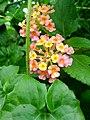 Wayanadan-random-flowers IMG 20180524 094413 HDR (28504625558).jpg