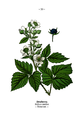 Wayside and woodland blossoms-0070-030-Rubus caesius.png