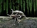 Weevils (Curculionidae) (8429021145).jpg