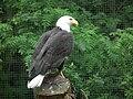 Weißkopfseeadler Tripsdrill.JPG