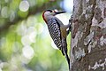 West Indian woodpecker (Melanerpes superciliaris superciliaris) male.JPG
