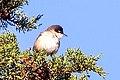 Western Orphean Warbler.jpg