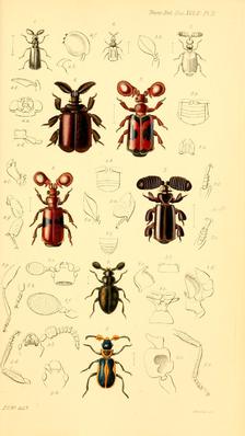 Fühlerkäfer aus Transactions of the Entomological Society of London vol. 2, 1837 von John Obadiah Westwood