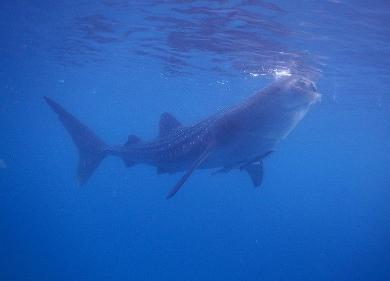 File:Whale6.jpg