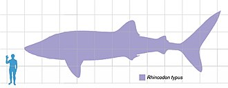 Whale shark - Size compared to an average human