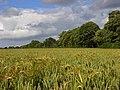 Wheat, Chaddleworth - geograph.org.uk - 872792.jpg