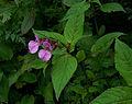 Whf pink 21.jpg
