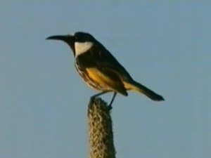 File:White-cheeked Honeyeater cool.ogv