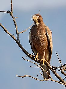 white eyed buzzard wikipedia