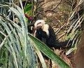 White-headed Capuchin (Cebus capucinus) (43044550671).jpg