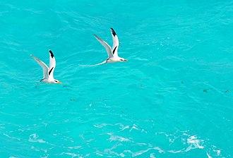 White-tailed tropicbird - Pairs in Flight