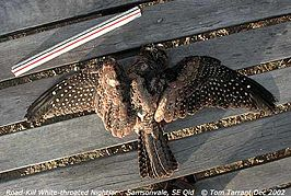 White-throated nightjar roadkill.jpg