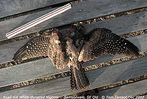White-throated nightjar - Roadkill, Kobble Creek, SE Queensland, Australia
