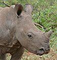 White Rhino (Ceratotherium simum) young (32245533346).jpg