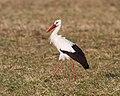 White Stork (Ciconia ciconia) (8521268334).jpg
